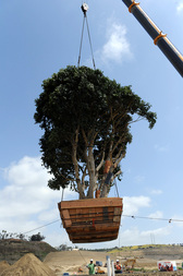20-Ton Tree is Planted at Civita in San Diego's Mission Valley