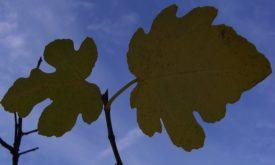fig_leaves.jpg